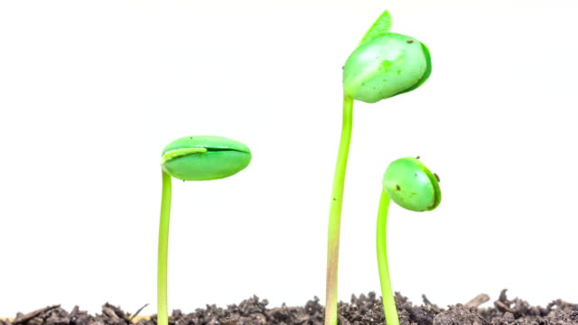 underground and overground view of three soybeans growing from sprouts, shot against a white background. - soya bean stock videos & royalty-free footage