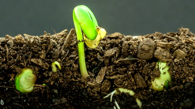 Underground and overground view of three soybeans growing from sprouts, shot against a black background.