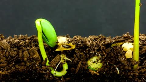 stockvideo's en b-roll-footage met ondergrondse en bovengrondse weergave van drie sojabonen groeien uit spruiten, schot tegen een zwarte achtergrond. - seed