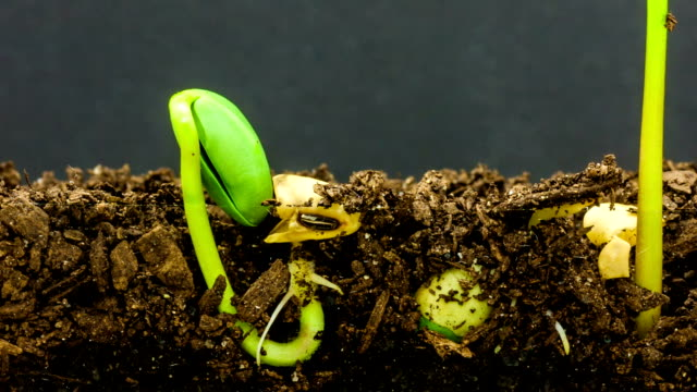 vídeos de stock e filmes b-roll de underground and overground view of three soybeans growing from sprouts, shot against a black background. - semente