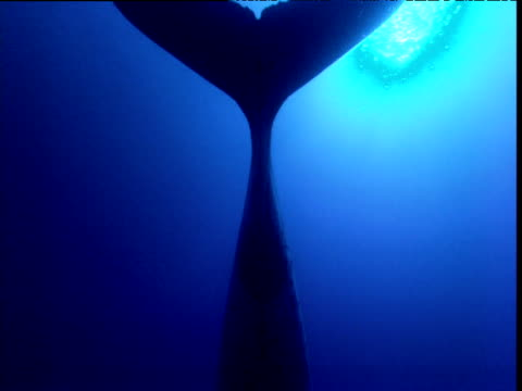 underneath view of humpback whale hanging in water singing, french polynesia - animal fin stock videos & royalty-free footage
