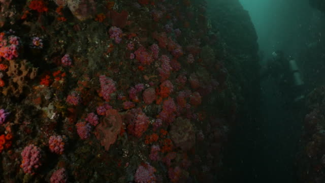 undersea canyon full with colorful soft coral colony - soft coral stock videos & royalty-free footage