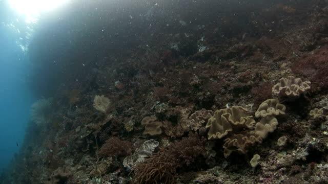 vídeos de stock e filmes b-roll de submarino penhasco com ricos coral encontrado em ribeiro ampat, indonésia - coral macio