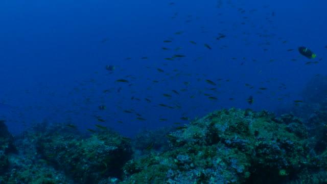 海底のサンゴ魚ガラパゴスでスクーリング - チャールズ・ダーウィン点の映像素材/bロール