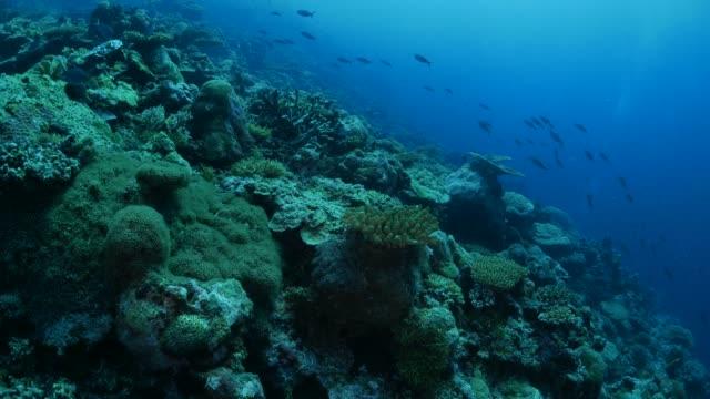 海底のサンゴ礁、火打ち石銃兵魚 - 野生生物保護点の映像素材/bロール