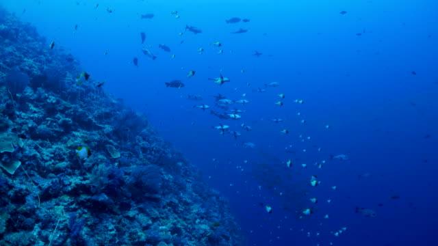 vídeos de stock e filmes b-roll de undersea coral reef, school of fish, palau - lutjanídeo