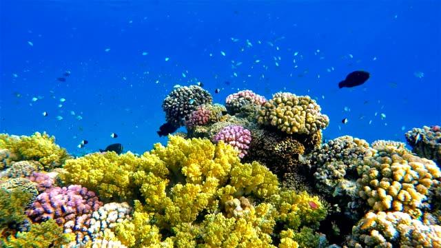 vídeos de stock e filmes b-roll de undersea coral reef with school of fisch on red sea - recife fenómeno natural
