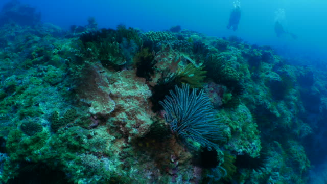 Undersea coral reef with sea lily colony