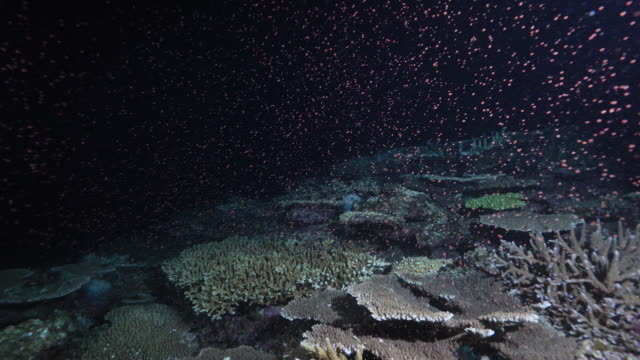 Undersea Coral Spawning in Okinawa