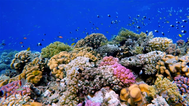 Undersea life on Coral reef with lot of small Fish / Red Sea
