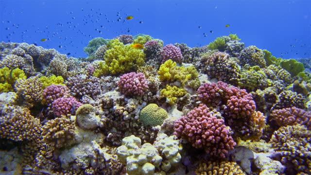 vídeos y material grabado en eventos de stock de vida submarina en el arrecife de coral con peces tropicales y dos buzos en el mar rojo - coral cnidario