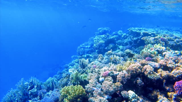 vídeos de stock e filmes b-roll de undersea life on coral reef with mackerel / red sea - recife fenómeno natural