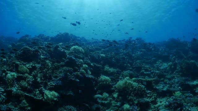 vídeos y material grabado en eventos de stock de peces de arrecife submarino, besugo - protección de fauna salvaje