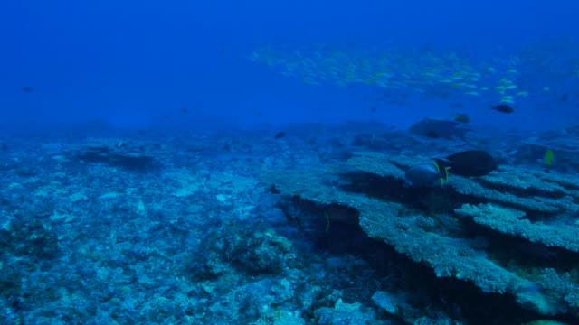 unterwasser riff mit hartkorallen und fischschwarm - meerbarbe stock-videos und b-roll-filmmaterial