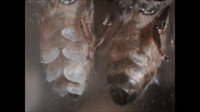 underside abdomen wax glands of two side by side honeybee bees profile single honeybee standing edge cone scraping wax off glands w/ legs bee w/ head... - side by side stock videos & royalty-free footage