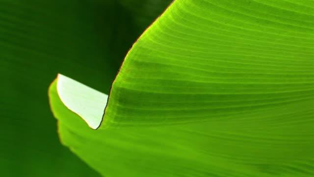 CU underside of broad leaf/ Manu National Park, Peru