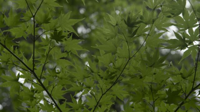 underside of japanese maple leaves, japan. - japanese maple stock videos & royalty-free footage