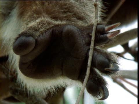 underside of koala's foot, raymond island, victoria, australia - claw stock videos & royalty-free footage