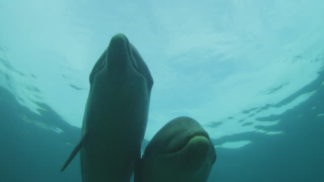 Underwater LA CU 2 Bottlenosed Dolphins swim over camera