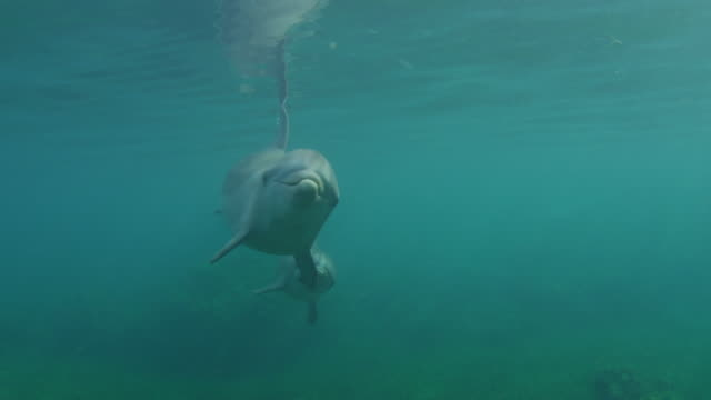 underwater la cu 2 bottlenosed dolphins swim past camera  - tursiope video stock e b–roll