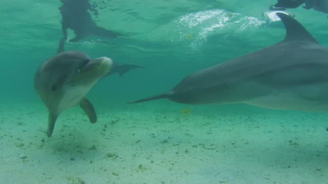 Underwater 2 Bottlenosed Dolphins swim very close to camera just below surface