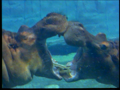 underwater 2 hippos playing / fighting with mouths open / africa - 1998年点の映像素材/bロール