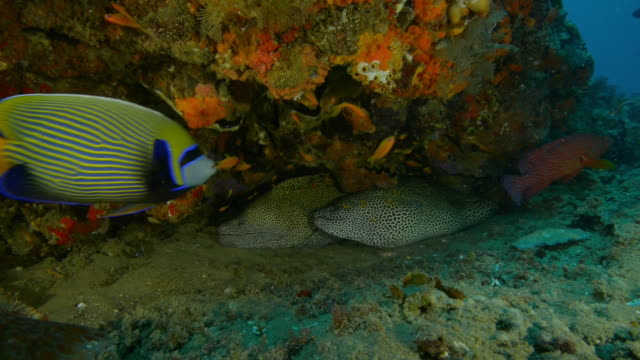 underwater 2 honeycomb moray eels in crevice of coral reef with fish swimming around - crevice stock videos & royalty-free footage