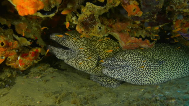 underwater cu 2 honeycomb moray eels in crevice of coral reef with cleaner shrimp walking over them - crevice stock videos & royalty-free footage