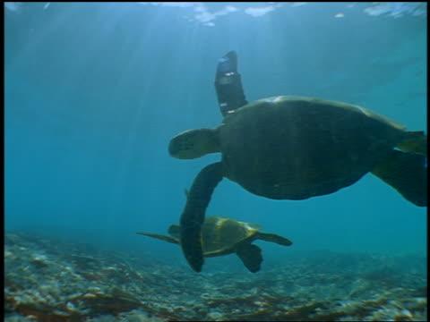 vídeos de stock e filmes b-roll de underwater 2 sea turtles swimming near ocean floor / hawaii - organismo aquático