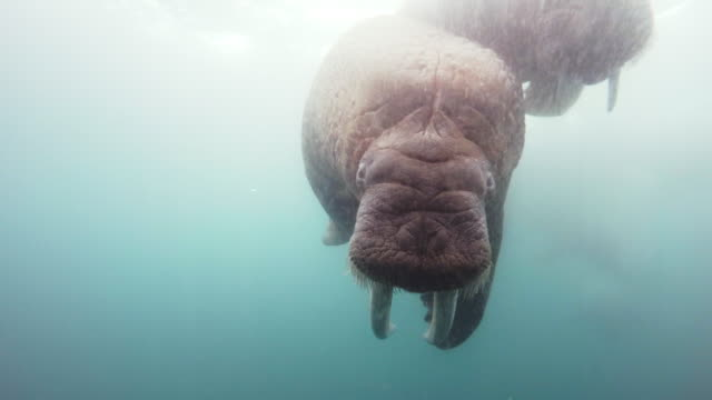 underwater 2 walruses swim right up to lens in cloudy water - medium group of animals stock videos & royalty-free footage