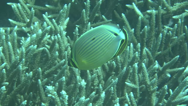 underwater, a fish and coral reefs, okinawa, japan - butterflyfish stock videos & royalty-free footage