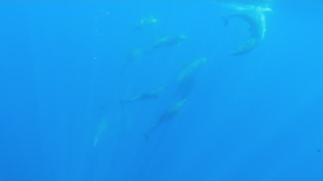 stockvideo's en b-roll-footage met underwater, a flock of dolphins in ogasawara, japan - cetacea