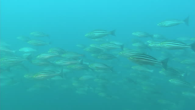 vídeos de stock e filmes b-roll de underwater, a large school of chicken grunt, izu oshima, japan - haemulon bonariense