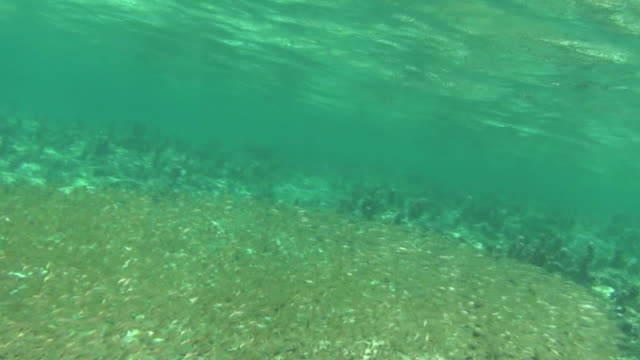 underwater; a large school of fish, okinawa, japan - seeratte stock-videos und b-roll-filmmaterial