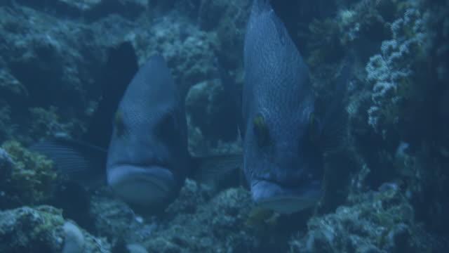 underwater, a pair of fish in ogasawara, japan - sweetlips stock videos & royalty-free footage