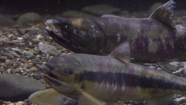underwater, a pair of salmons - animals in the wild stock videos & royalty-free footage