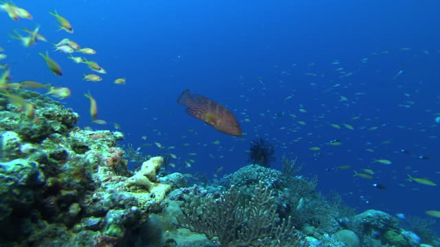 underwater; a school of fish and coral reef, okinawa, japan - grouper stock videos & royalty-free footage