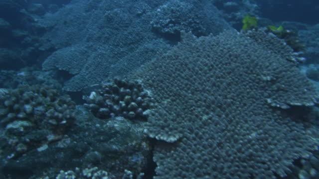 underwater, a school of fish and corals, ogasawara, japan - sweetlips stock videos & royalty-free footage