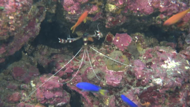 underwater, a school of fish and shrimp, izu oshima, japan - anthias fish stock videos & royalty-free footage