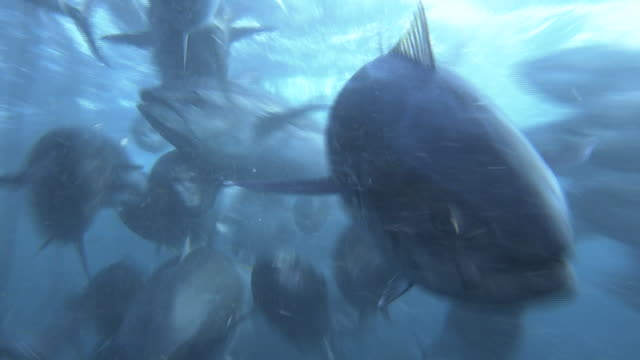 underwater, a school of fish in fixed net, nagasaki, japan - branco di pesci video stock e b–roll