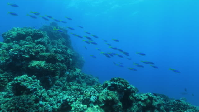 underwater, a school of fish in ogasawara, japan - moorish idol stock videos and b-roll footage