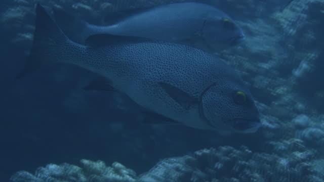 underwater, a school of fish in ogasawara, japan - sweetlips stock videos & royalty-free footage