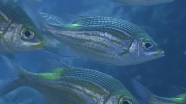 underwater, a school of fish in ogasawara, japan - snapper fish stock videos & royalty-free footage