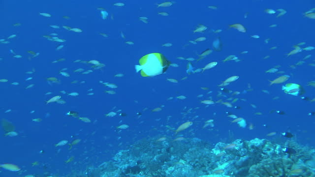 underwater; a school of fish, okinawa, japan - hemitaurichthys polylepis stock videos and b-roll footage