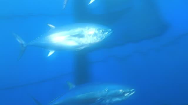 vídeos de stock e filmes b-roll de underwater, a school of tuna in fixed net, nagasaki, japan - atum peixe