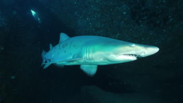 underwater, a shark slowly swimming, ogasawara, japan - sand tiger shark stock videos and b-roll footage