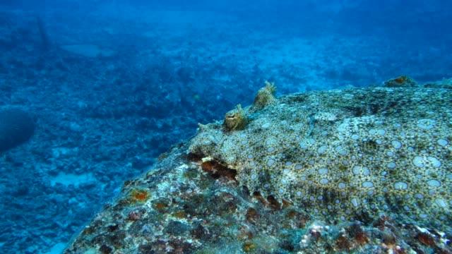 underwater: amazing flowery flounder flatfish on rock - flounder stock videos & royalty-free footage