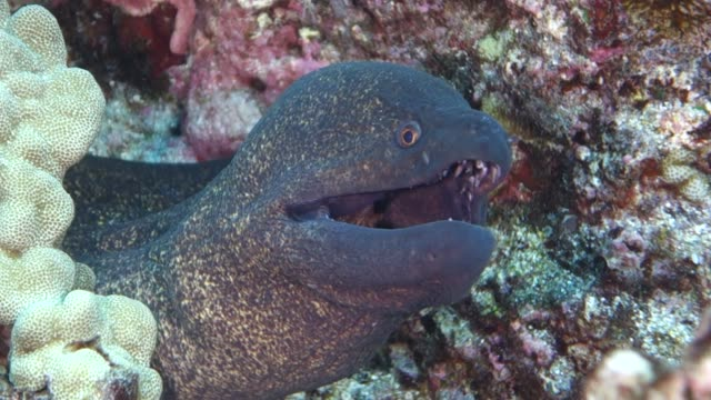 underwater: amazing moray eel between coral and rock - moray eel stock videos and b-roll footage