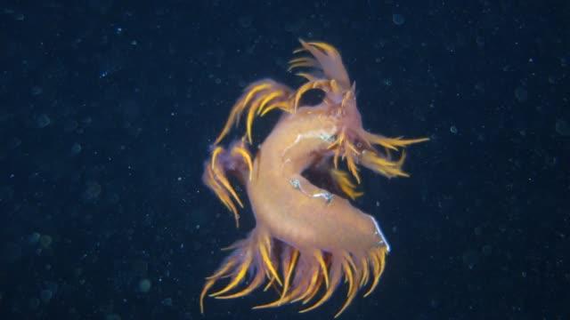 vídeos de stock, filmes e b-roll de underwater: amazing rainbow sea slug swimming in dark ocean - gastrópode