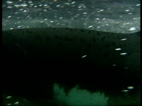Underwater and topside shots of Salmon swimming, series, Arctic Circle